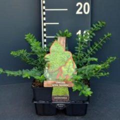 "Plantenwinkel.nl Struikkamperfoelie (lonicera nitida ""Maigrun"") bodembedekker - 6-pack - 1 stuks"