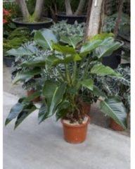 Plantenwinkel.nl Philodendron groen beauty kamerplant