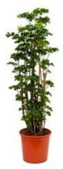 Plantenwinkel.nl Polyscias aralia roble L kamerplant