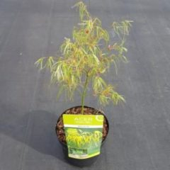 "Plantenwinkel.nl Japanse esdoorn (Acer palmatum ""Koto-no-ito"") heester - 3 stuks"