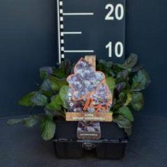 "Plantenwinkel.nl Zenegroen (ajuga reptans ""Atropurpurea"") bodembedekker - 6-pack - 1 stuks"