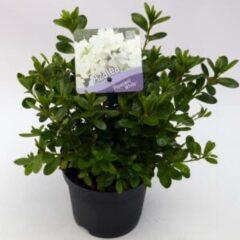 "Plantenwinkel.nl Rododendron (Rhododendron Japonica ""Pleasant White"") heester - 15-20 cm - 8 stuks"