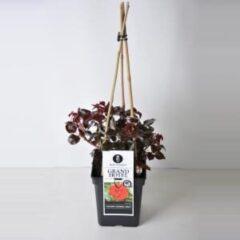 """Plantenwinkel.nl Grootbloemige klimroos (rosa """"Grand Hotel""""®)"""