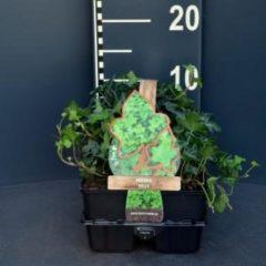 Plantenwinkel.nl Klimop (hedera helix) bodembedekker - 6-pack - 1 stuks