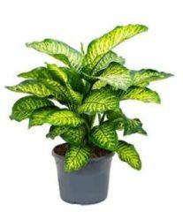 Plantenwinkel.nl Dieffenbachia maroba M kamerplant