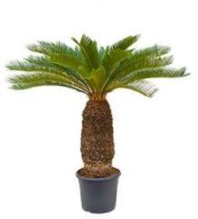 Plantenwinkel.nl Cycas Palm revoluta stam XXL kamerplant