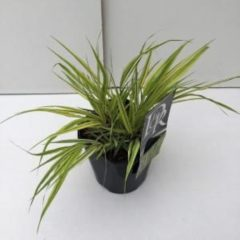"Plantenwinkel.nl Hakonegras (Hakonechloa macra ""Aureola"") siergras - 6 stuks"