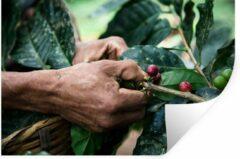StickerSnake Muursticker Oogsten - Een mens oogst de koffiebonen - 120x80 cm - zelfklevend plakfolie - herpositioneerbare muur sticker
