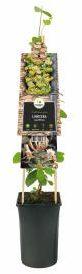 Afbeelding van Plantenwinkel.nl Tuinkamperfoelie (Lonicera caprifolium) klimplant - 4 stuks