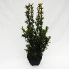 """Plantenwinkel.nl Taxus (Taxus media """"Groenland"""") conifeer - 6 stuks"""