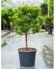 Plantenwinkel.nl Podocarpus latifolius stam bonsai kamerplant