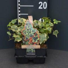 "Plantenwinkel.nl Klimop (hedera helix ""Goldchild"") bodembedekker - 4-pack - 1 stuks"