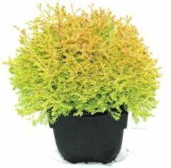 "Plantenwinkel.nl Westerse levensboom (Thuja occidentalis ""Rheingold"") conifeer - 6 stuks"