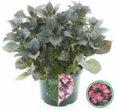 "Plantenwinkel.nl Hydrangea Macrophylla ""Black Diamond® Dark Angel Purple""® schermhortensia - 40-50 cm - 1 stuks"