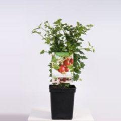 "Plantenwinkel.nl Rode kruisbes (ribes uva crispa ""Captivator"") fruitplanten - In 5 liter pot - 1 stuks"