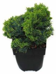 "Plantenwinkel.nl Schijncipres (Chamaecyparis obtusa ""Nana Gracilis"") conifeer - 6 stuks"