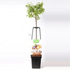 Plantenwinkel.nl Pruimenboom mix – fruitbomen - 3 stuks