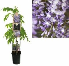 "Plantenwinkel.nl Blauweregen (Wisteria Sinensis ""Prolific"") klimplant - 120 cm - 1 stuks"