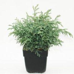 "Plantenwinkel.nl Schijncipres (Chamaecyparis pisifera ""Baby Blue"") conifeer - 6 stuks"