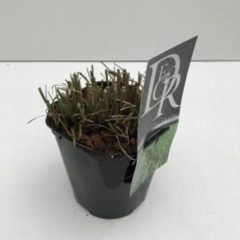 """Plantenwinkel.nl Prachtriet (Miscanthus sinensis """"Little Zebra"""") siergras - In 2 liter pot - 1 stuks"""