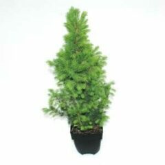 "Plantenwinkel.nl Spar (Picea glauca ""Conica"") conifeer - 6 stuks"