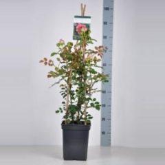 """Plantenwinkel.nl Engelse klimroos (rosa """"Jubilee Celebration""""®)"""