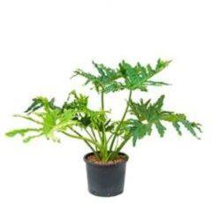 Plantenwinkel.nl Philodendron selloum L hydrocultuur plant