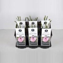 """Plantenwinkel.nl Grootbloemige roos (rosa """"Blue Girl""""®) - C3 - 1 stuks"""