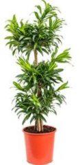 Plantenwinkel.nl Dracaena Pleomele song of jamaica M kamerplant