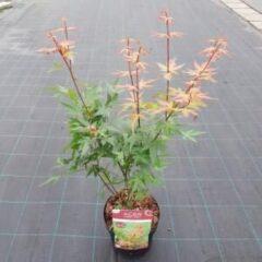 "Plantenwinkel.nl Japanse esdoorn (Acer palmatum ""Red Wine"") heester - 3 stuks"