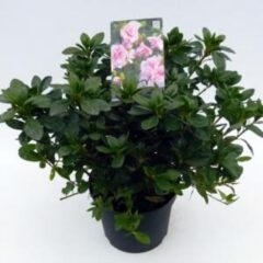 "Plantenwinkel.nl Rododendron (Rhododendron Japonica ""Nancy of Robin Hill"") heester - 3 stuks"