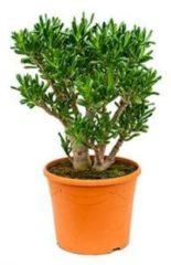Plantenwinkel.nl Crassula gollum L kamerplant