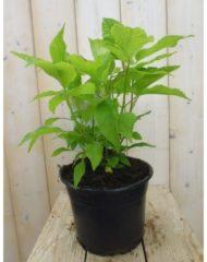 "Plantenwinkel.nl Hydrangea Arborescens ""Strong Annabelle""® sneeuwbalhortensia - 3 stuks"