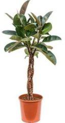 Plantenwinkel.nl Ficus robusta gevlochten M kamerplant
