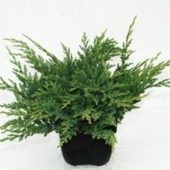 "Plantenwinkel.nl Kruipende jeneverbes (Juniperus horizontalis ""Prince of Wales"") conifeer - 6 stuks"