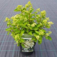 MyPlantshop.eu Hydrangea arborescens 'Prim White'; Totale hoogte 60-70cm incl. Ø 19cm pot | Witte Hortensia