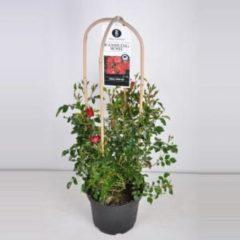 "Plantenwinkel.nl Rambler klimroos (rosa ""Rambling Rosie""®) - C7.5 - 1 stuks"