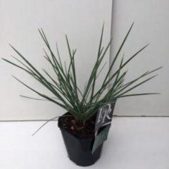 Plantenwinkel.nl Blauwgras (Sesleria nitida) siergras - 6 stuks