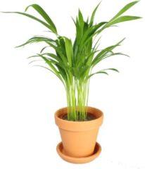 Groene Plantenwinkel.nl Plantenwinkel Areca Goudpalm lutescens XS plant in pot terracotta
