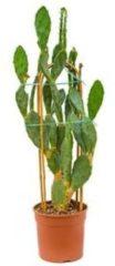 Plantenwinkel.nl Opuntia cactus vulgaris XL kamerplant