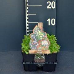 Plantenwinkel.nl Mazus (mazus reptans) bodembedekker - 6-pack - 1 stuks