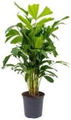 Plantenwinkel.nl Caryota Palm mitis M kamerplant