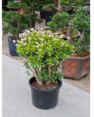 Plantenwinkel.nl Crassula ovata XL kamerplant