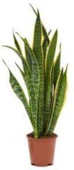 Plantenwinkel.nl Sansevieria laurentii XS kamerplant