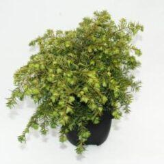 "Plantenwinkel.nl Hemlockspar (Tsuga Canadensis ""Nana"") conifeer - 6 stuks"