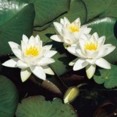 Moerings waterplanten Witte dwergwaterlelie (Nymphaea Tetragona) waterlelie - 6 stuks