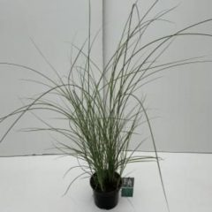 """Plantenwinkel.nl Prachtriet (Miscanthus sinensis """"Gracillimus"""") siergras - In 3 liter pot - 1 stuks"""