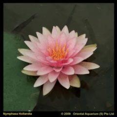 Moerings waterplanten Roze waterlelie (Nymphaea Hollandia) waterlelie - 6 stuks