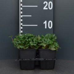 "Plantenwinkel.nl Duinaardbei (fragaria chiloensis ""Chaval"") bodembedekker - 4-pack - 1 stuks"