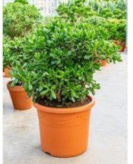 Plantenwinkel.nl Crassula ovata XXL kamerplant